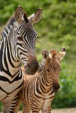 Zebra mare and foal Royalty Free Stock Images