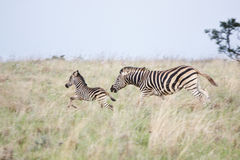 Zebra mare and foal fleeing danger Stock Photos