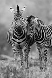 Zebra mare and foal standing in bush Stock Photography