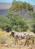 Zebra mare with foal in wild bush. Zebra mare with foal in wild african bush Royalty Free Stock Images
