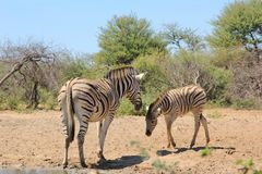 Zebra - A Mare with her Foal in Africa Royalty Free Stock Photos