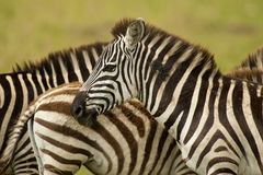 Zebra in Masai Mara Royalty Free Stock Photo