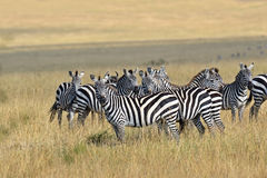 Zebra in the Masai Mara Royalty Free Stock Photos