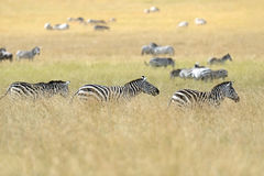 Zebra in the Masai Mara Royalty Free Stock Photography