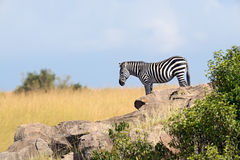 Zebra in the Masai Mara Stock Image