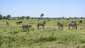 Zebra in Masai Mara National Park. Royalty Free Stock Photography