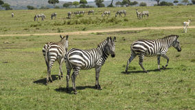 Zebra in Masai Mara National Park. Royalty Free Stock Photography