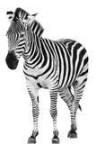 Zebra maschio isolata Fotografia Stock Libera da Diritti