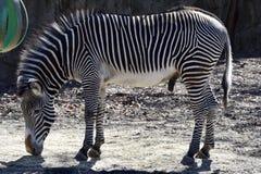Zebra masculina de Grevy's fotos de stock royalty free