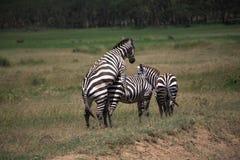 Zebra mating Stock Image