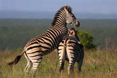 Zebra mating. A male zebra mounts a female to mate with Royalty Free Stock Photos
