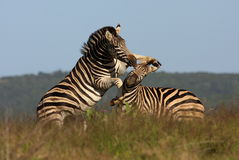 Zebra mating in Addo, South Africa. A dominant male zebra stallion tries to mount and mate with his females Stock Images