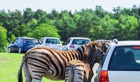 Zebra matka i dziecko - Zdjęcia Royalty Free