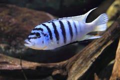 Zebra Mbuna-Cichlid Stockbilder