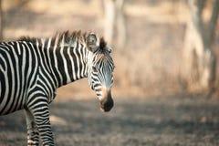 Zebra, Meer Mburo, Oeganda stock afbeeldingen