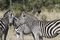 Zebra meeting Royalty Free Stock Photography