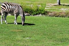 A zebra a menor Fotografia de Stock Royalty Free