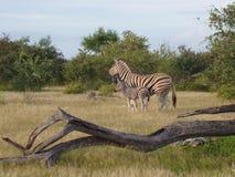Zebra met baby, Etosha PanNamibië Royalty-vrije Stock Afbeeldingen