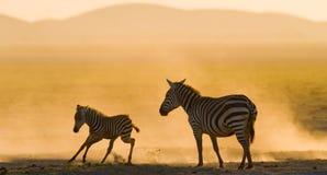 Zebra met een baby in het stof tegen de het plaatsen zon kenia tanzania Nationaal Park serengeti Maasai Mara Royalty-vrije Stock Fotografie
