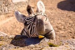 Zebra met een grappig gezicht De zebra eet fruit Gestreepte harige snuit royalty-vrije stock fotografie