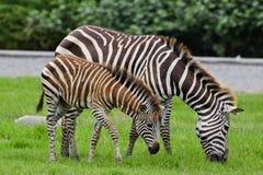 Zebra met jonge  Stock Fotografie