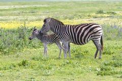 Zebra met jongelui Stock Afbeelding