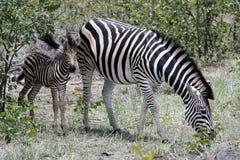 Zebra met Veulen Royalty-vrije Stock Afbeelding