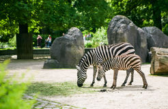 Zebra met veulen Stock Foto's