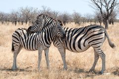 Zebra met veulen Namibië royalty-vrije stock fotografie
