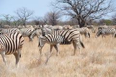 Zebra met veulen Namibië stock afbeelding