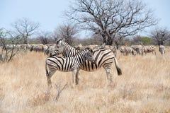 Zebra met veulen Namibië stock afbeeldingen