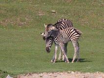 Zebra met veulen op weide royalty-vrije stock fotografie