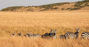 Zebra migration Royalty Free Stock Photos