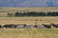 Zebra migration, Masai Mara, Kenya Royalty Free Stock Photo