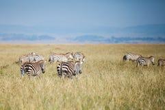 Zebra in migration Stock Photo