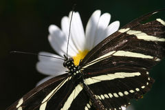 Zebra mim Foto de Stock