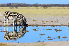 Zebra mirror image. In Nxai Pan NP, Botswana Royalty Free Stock Image
