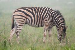 Zebra in the mist Stock Images