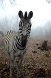 Zebra In The Mist Royalty Free Stock Photos