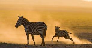Zebra mit einem Baby im Staub gegen die untergehende Sonne kenia tanzania Chiang Mai serengeti Maasai Mara Stockbilder