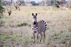 Zebra mit einem fragenden Blick Stockbild