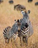 Zebra mit einem Schätzchen kenia tanzania Chiang Mai serengeti Maasai Mara Stockfotografie