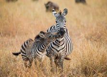 Zebra mit einem Schätzchen kenia tanzania Chiang Mai serengeti Maasai Mara Lizenzfreie Stockfotografie