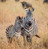 Zebra mit einem Schätzchen kenia tanzania Chiang Mai serengeti Maasai Mara Lizenzfreies Stockfoto