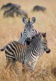 Zebra mit einem Schätzchen kenia tanzania Chiang Mai serengeti Maasai Mara Lizenzfreies Stockbild