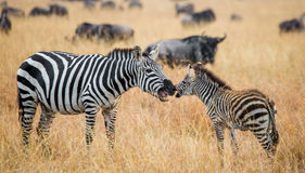Zebra mit einem Schätzchen kenia tanzania Chiang Mai serengeti Maasai Mara Stockfotos