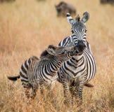 Zebra mit einem Schätzchen kenia tanzania Chiang Mai serengeti Maasai Mara Stockfoto