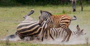 Zebra mit einem Schätzchen kenia tanzania Chiang Mai serengeti Maasai Mara Stockbild