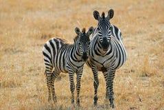 Zebra mit Fohlen lizenzfreie stockfotografie