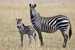 Zebra mit ihrem Jungen steht und schaut herum Lizenzfreie Stockfotografie